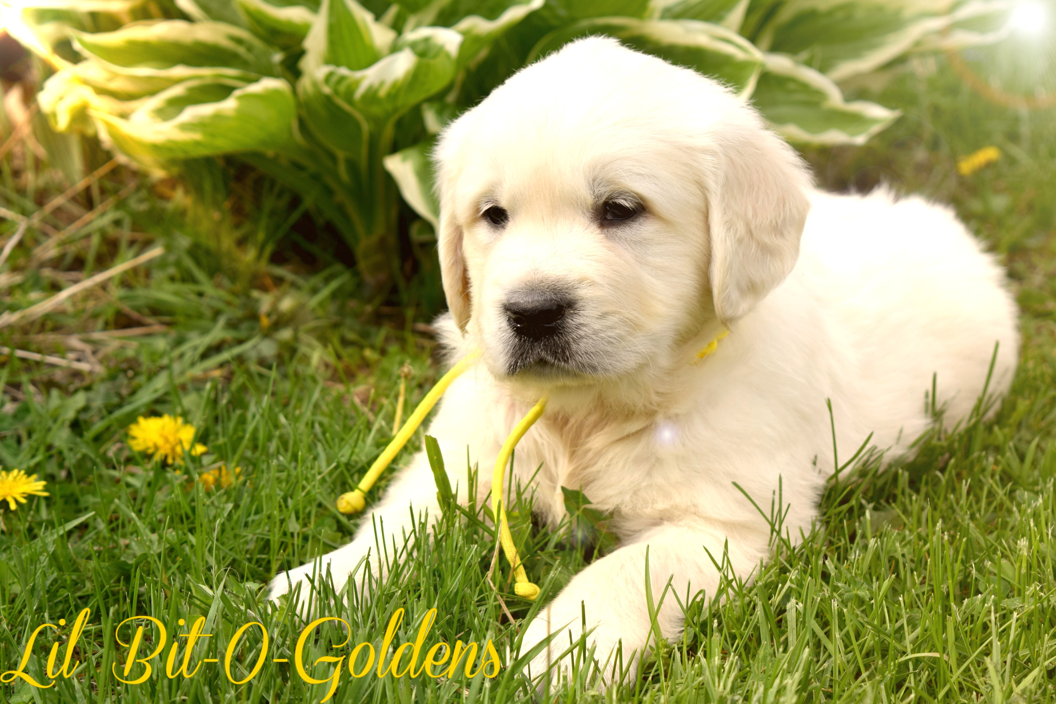 Yellow golden retriever puppies